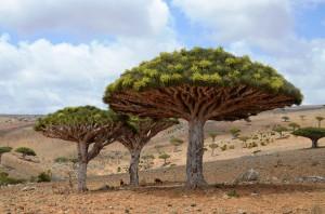 Dragoon trees on Dekasm